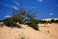 Brush growing on Jockey's Ridge.jpg