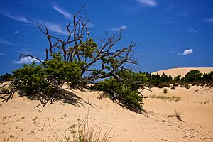 Jockey's Ridge State Park - Brush growing on some of the sand dunes of Jockey's Ridge State Park.