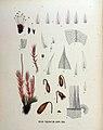Bryum turbinatum — Flora Batava — Volume v18.jpg