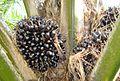 Buah kelapa sawit (51).JPG