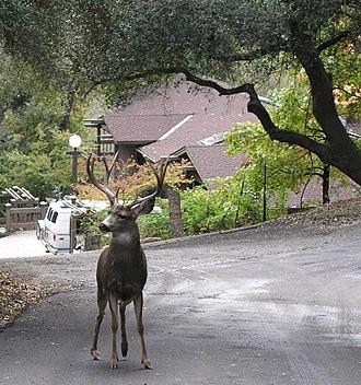 California mule deer - A buck during the rut in rural Auburn