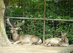 Bukhara deer pair, extremely endangered Central Asian deer.jpg