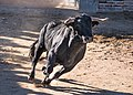 Bullfighting Cuts (139308607).jpeg