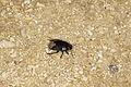 Burrowing bug (Cydnus aterrimus, Family- Cydnidae) from Kap Trafalgar, Spain (8709834606).jpg