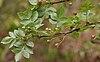 Bursera citronella (syn B delpichiana) fruits & leaves at Hyderabad, AP W IMG 7070