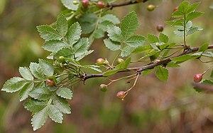 Bursera - Image: Bursera citronella (syn B delpichiana) fruits & leaves at Hyderabad, AP W IMG 7070