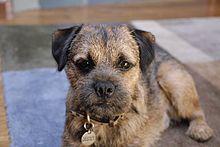border terrier wikipedia
