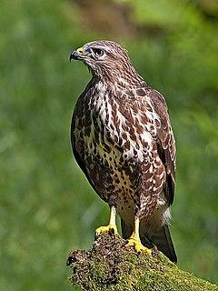 Accipitridae Family of birds of prey