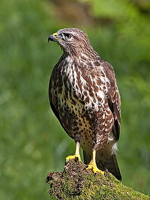 A Common Buzzard in Scotland.