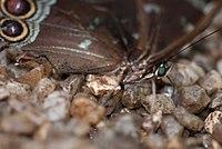 Butterfly face (13529855615).jpg