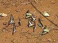 Butterfly mud-puddling at Kottiyoor Wildlife Sanctuary (21).jpg
