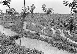 COLLECTIE TROPENMUSEUM Jonge rubberaanplant met Calopogonium TMnr 10012789.jpg