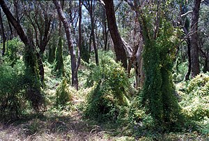 Asparagus asparagoides - A bridal creeper infestation in Australia