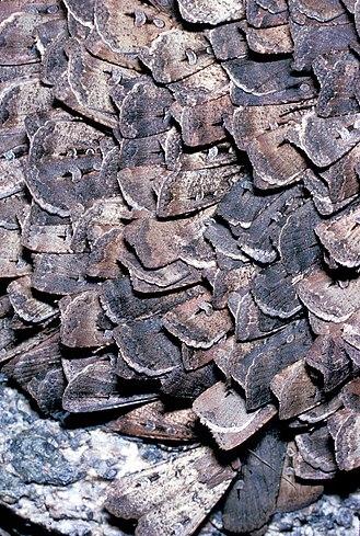 Bogong moth - Gregarious aggregation of bogong moths during aestivation