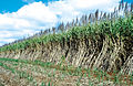 CSIRO ScienceImage 4538 Young and mature sugarcane crop Atherton QLD.jpg