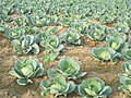Cabbage cultivation in Assam.jpg