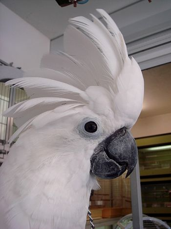 English: Umbrella Cockatoo (Cacatua alba) also...