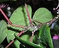 Cacopsylla-pulchella-06.jpg