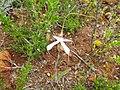 Caladenia longicauda clivicola 01.jpg