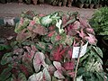 Caladium from Lalbagh garden 8738.JPG