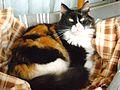 Calico cat 1.jpg