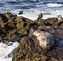 California sea lions in La Jolla (70386).jpg