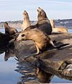 California sea lions in La Jolla (70545).jpg