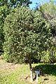 Callistemon pallidus - Jardín Botánico de Barcelona - Barcelona, Spain - DSC08920.JPG