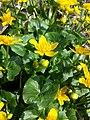 Caltha palustris sl3.jpg