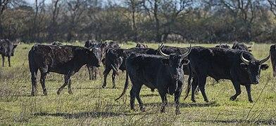 Camargue cattle, Saint-Gilles 06.jpg