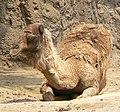 Camelus dromedarius resting.jpg