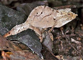 Description de l'image Cameroon Stumptail Chameleon (Rhampholeon spectrum) (7668008064).jpg.