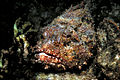 Camouflaged caribbean spotted scorpionfish.jpg