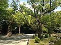 Camphor trees near Shinjiike Pond of Munakata Grand Shrine (Hetsu Shrine).JPG