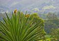 Canarios (Nirgua -Yaracuy).jpg