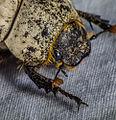 Cane Beetle Head (8204657602).jpg
