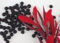 Canna indica (wild species) seeds.JPG