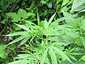 Cannabis sativa on way from Govindghat to Rishikesh at Valley of Flowers National Park - during LGFC - VOF 2019 (2).jpg