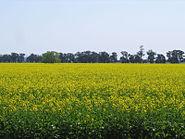 Canola field temora nsw