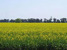 Canola Oil Wikipedia