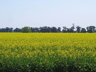 Canola oil - Canola field in New South Wales, Australia