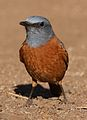 Cape Rock Thrush, Monticola rupestris, at Walter Sisulu National Botanical Garden, Gauteng, South Africa (29375686936).jpg
