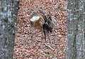 Capreolus capreolus (11893557485).jpg