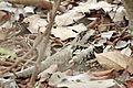 Caprimulgus climacurus -Gambia-8 (3).jpg