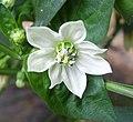 Capsicum annuum flower.JPG