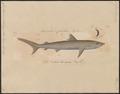 Carcharias albomarginatus - 1700-1880 - Print - Iconographia Zoologica - Special Collections University of Amsterdam - UBA01 IZ14100039.tif