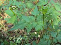 Cardiospermum halicacabum 15.JPG
