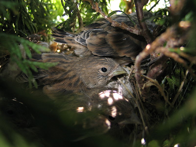 File:Carduelis cannabina-young in nest.jpg