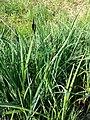 Carex acutiformis sl1.jpg