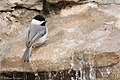 Carolina Chickadee South Llano River State Park Llano TX 2018-02-24 16-33-51 (25712379377).jpg